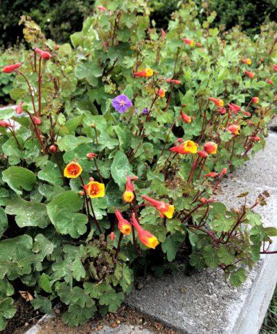Flowers of the mashua (Tropaeolum tuberosum) variety 'Ken Aslet'