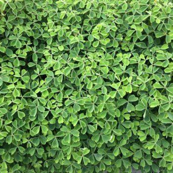 Oca (Oxalis tuberosa) foliage