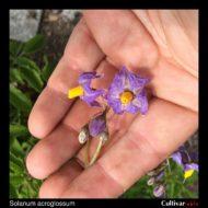 Solanum acroglossum flowers