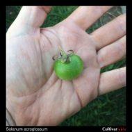 Solanum acroscopicum berry