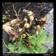 Root ball of the wild potato species Solanum acroscopicum