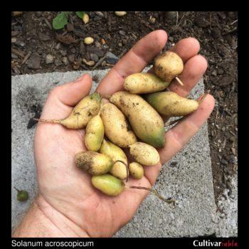 Solanum acroscopicum tubers