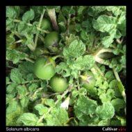 Solanum albicans berries