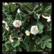 Solanum albicans flowers