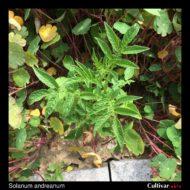 Solanum andreanum plant