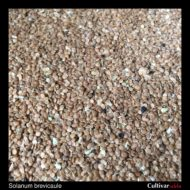 Solanum brevicaule seeds