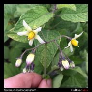 Solanum bulbocastanum flowers