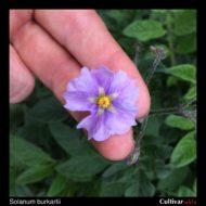Solanum burkartii flower