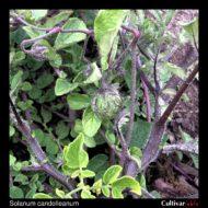 Berry of the wild potato species Solanum candolleanum