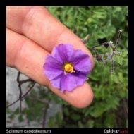 Flower of the wild potato species Solanum candolleanum