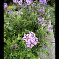 Flowers of the wild potato species Solanum candolleanum