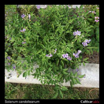Above ground plant of the wild potato species Solanum candolleanum