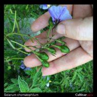 Berries of the wild potato species Solanum chomatophilum