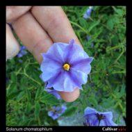 Flower of the wild potato species Solanum chomatophilum
