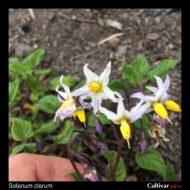 Solanum clarum flowers