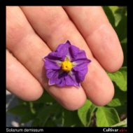 Solanum demissum flower