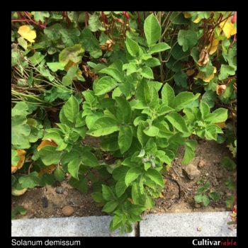 Solanum demissum plant