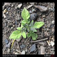 Solanum flahaultii plant