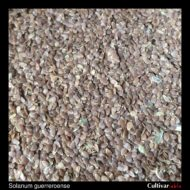 Solanum guerreroense seeds