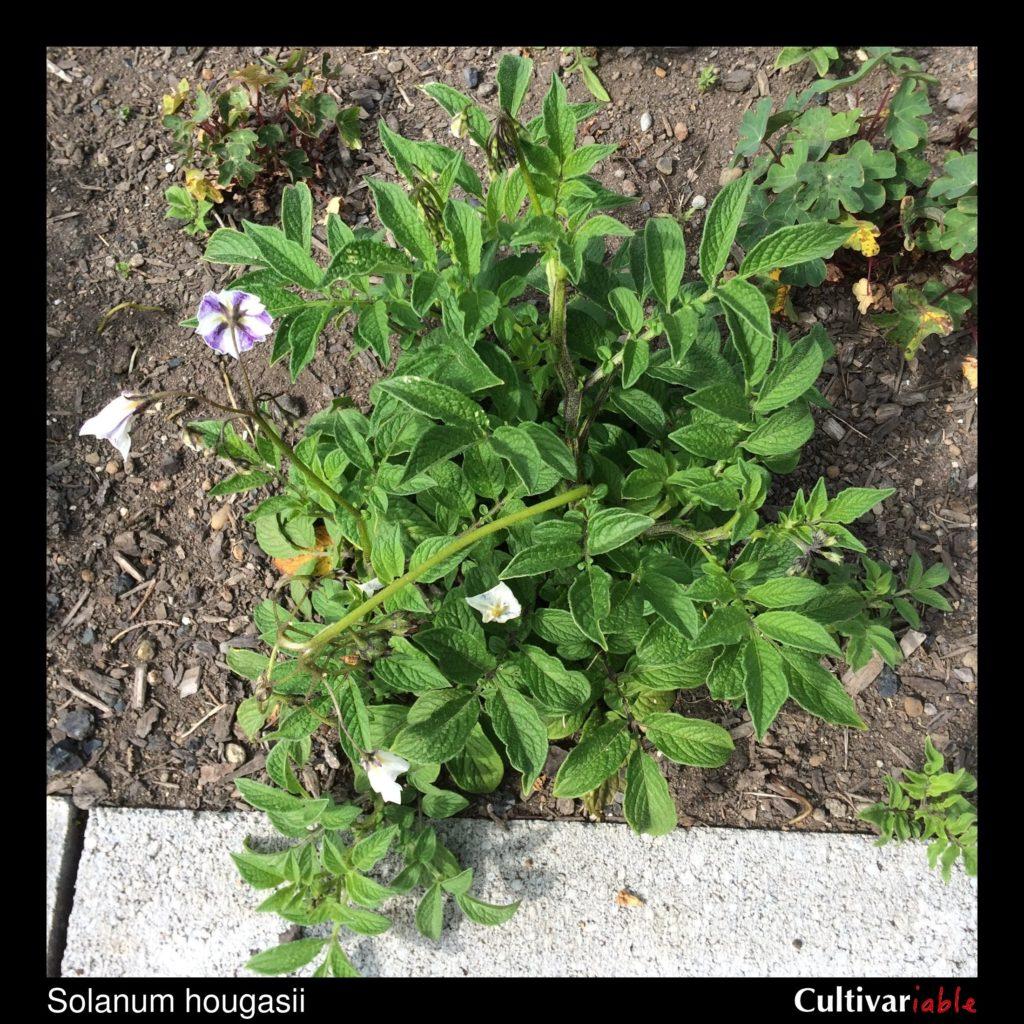 wild potato  solanum hougasii