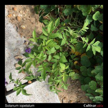 Solanum iopetalum plant