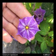 Flower of the wild potato species Solanum iopetalum