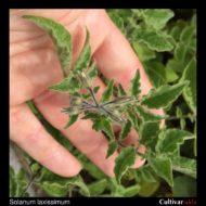Solanum laxissimum flower buds
