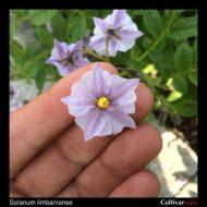 Solanum limbaniense flower