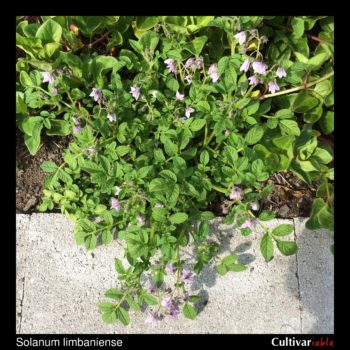 Solanum limbaniense plant