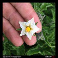 Solanum microdontum flower
