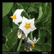 Solanum microdontum flowers