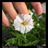 Solanum mochiquense flower