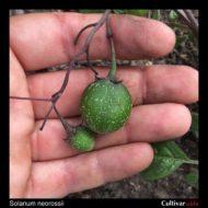 Solanum neorossii berry