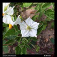 Solanum okadae flower back