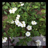 Solanum okadae plant
