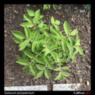 Solanum polyadenium plant