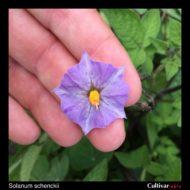 Solanum schenckii flower