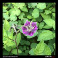 Solanum schenckii flower back