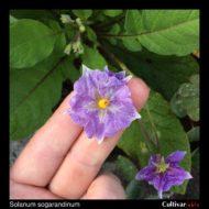 Flower of the wild potato species Solanum sogarandinum