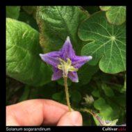 Solanum sogarandinum flower back