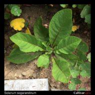 Solanum sogarandinum plant