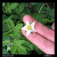 Solanum tarnii flower