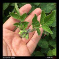 Solanum tarnii flower buds