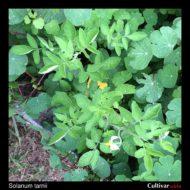 Solanum tarnii plant
