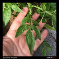 Solanum trifidum leaf