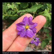 Solanum verrucosum flower