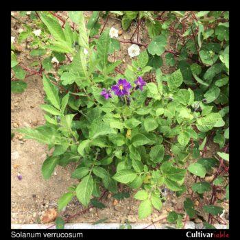 Solanum verrucosum plant