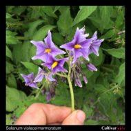 Solanum violaceimarmoratum inflorescence