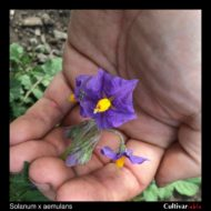 Solanum x aemulans flower