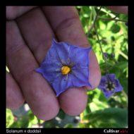 Solanum x doddsii flower